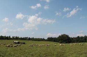 Schafe Schäfchenwolken Behringhof