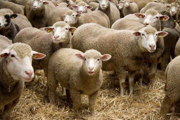 Schafe Urlaub auf dem Bauernhof